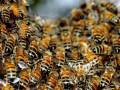 ООН: Пчелы гибнут по всему миру